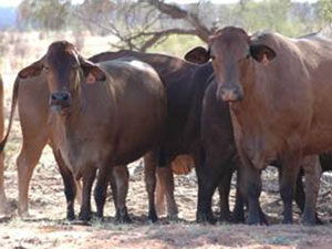 British breed cattle standing