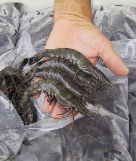 Hand holding black tiger prawns