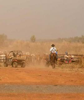 Mustering cattle on horseback and quad bikes