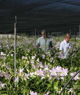 Man working in orchid nursery