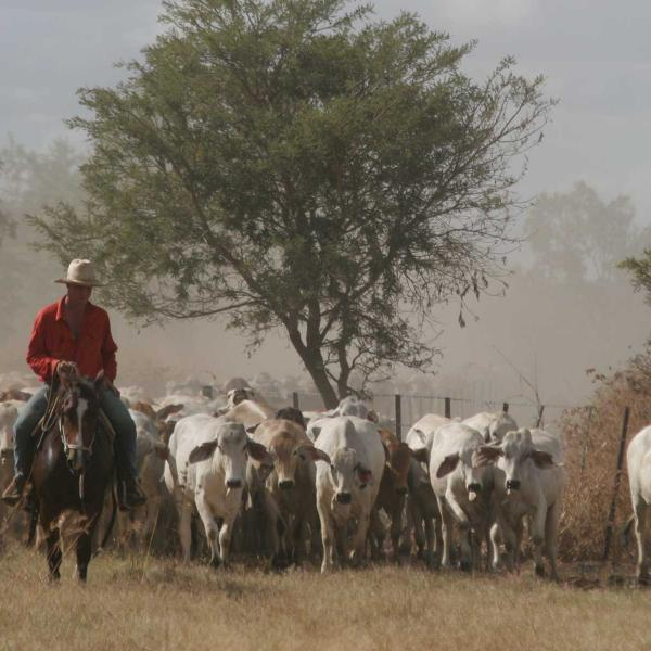 Cowboy walking in front of cattle during a muster