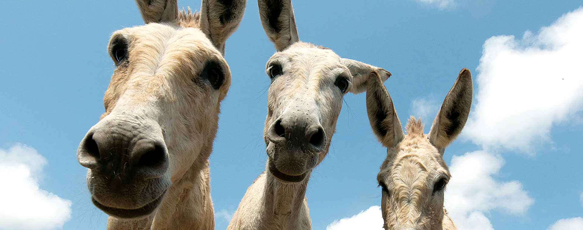 Heathshot of three donkeys