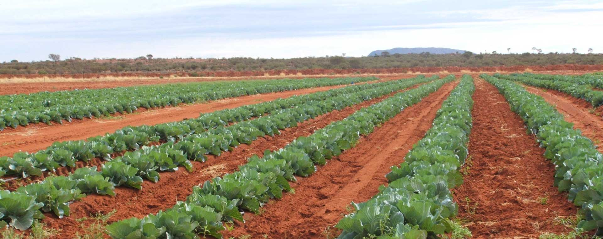 Rows of vegetables growing in paddock