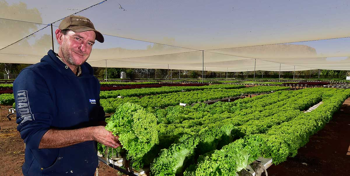 Man working with lettuce in a nursery